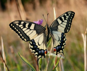 Machaonas - Papilio machaon