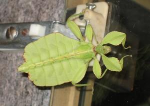 Filipininis lapapilvis - Phyllium siccifolium