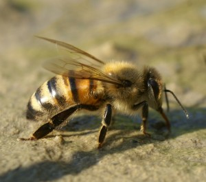 Naminė bitė - Apis mellifera