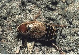 Miškinis prūsokas (Ectobius sylvestris)