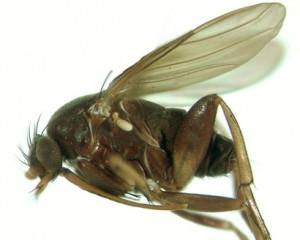 dohrniphora-longirostrata2