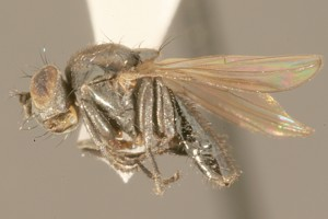 Naftinė muselė (Helaeomyia petrolei)
