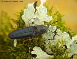 Violetinis limoniskas (Limoniscus violaceus)