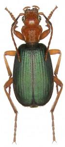 Brachinus_crepitans_(Linné,_1758)_(2882259854)