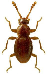 Piktavabalis (Microscydmus minimus).